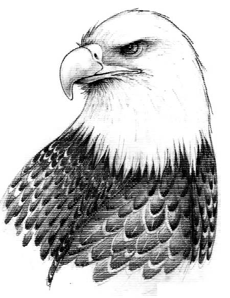 Bald Eagle Drawings, The Big Birds of Prey